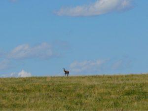 antelope-doe